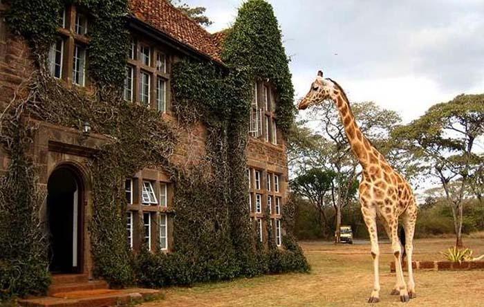 в усадьбе жирафов